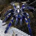 Discovery of rare blue Spider